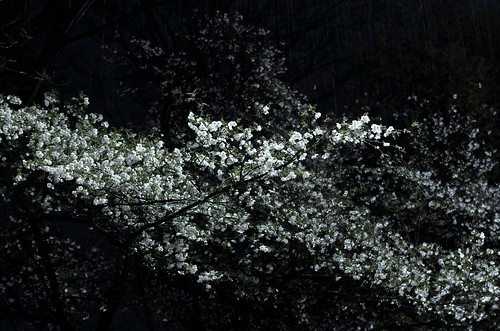 Passion_01(Cherry blossoms at night)