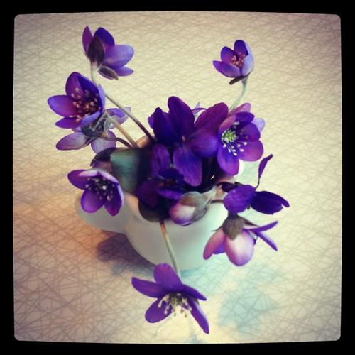 Blåsippor och violer