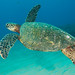 Green Turtle by cbabbitt