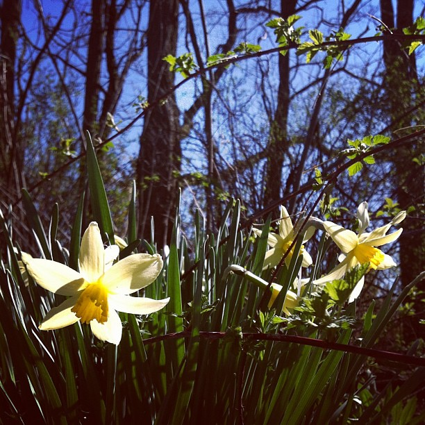 Our wild narcissus