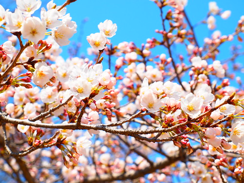 2012 桜 sakura