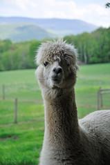 guanaco(0.0), alpaca(1.0), animal(1.0), llama(1.0), fauna(1.0), camel-like mammal(1.0),