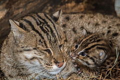 Fishing Cats Born at the Smithsonian's National Zoo