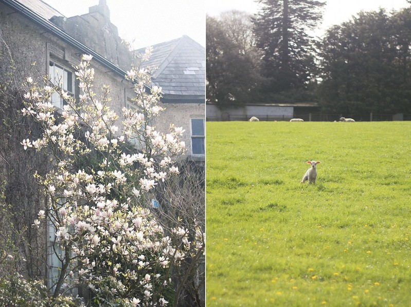 magnolia tree and lamb altamont garden