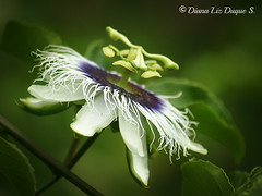 Flor de maracuyá, parchita Passiflora edulis