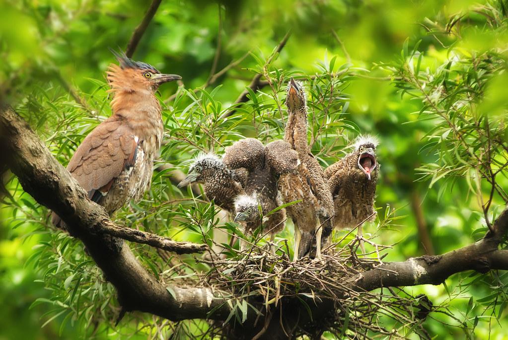 ★ 黑冠麻鷺 ★ ~ Malaysian Night Heron ~