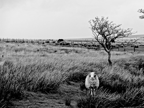 mountain field wales sheep bestviewedlarge bleak blaenavon coity