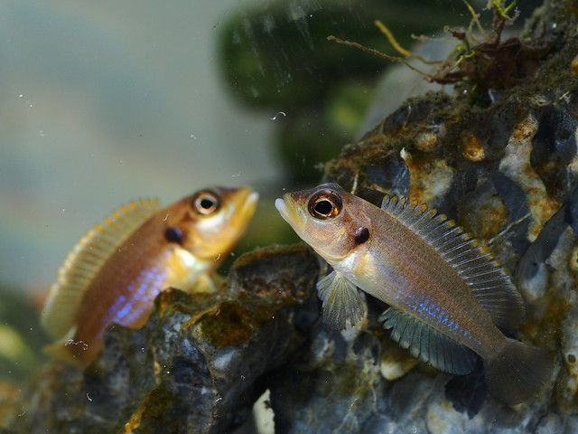 卵生鱼种, 几乎和软胎生(例如孔雀鱼)鱼种一样容易