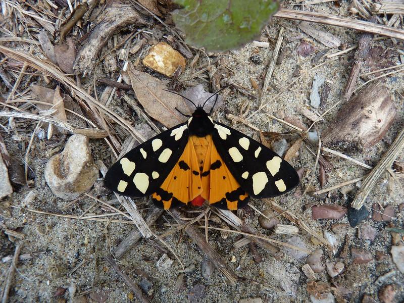 Cream Spot Tiger - Dorset