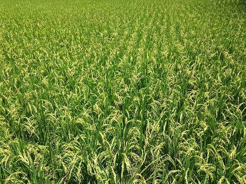 通過有ˇ機驗證的水稻。