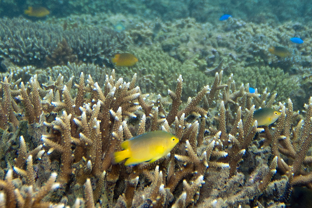 lemon damselfish Pomacentrus moluccensis