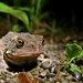 Bufo Americanus on the prowl