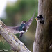 Nesting Violet-Green Swallows by slice48666