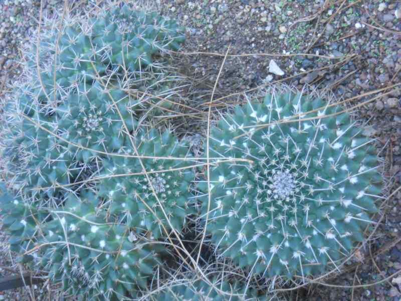Mammillaria magnimamma 1