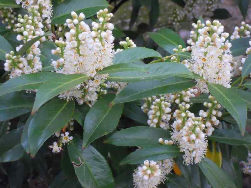 Prunus laurocerasus 'Otto Luyken' 2