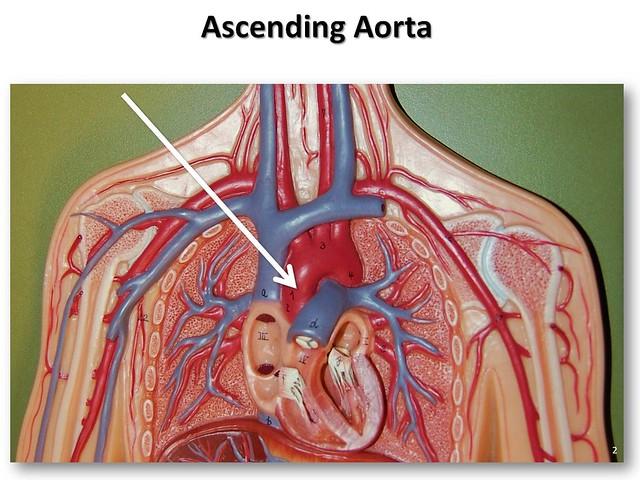 Ascending aorta anatomy