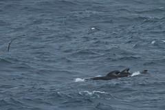 Longfin pilot whale, near Shag Rocks