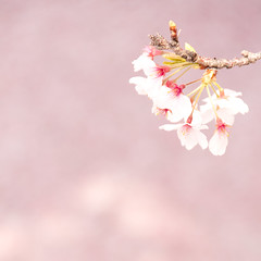 [Free Images] Flowers / Plants, Cherry Blossoms ID:201204250600