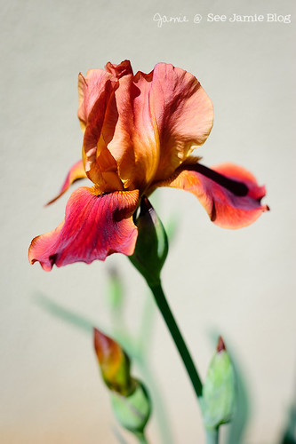 Red Orange Iris April 2012