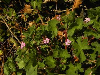 5 Geranium rotundifolium+Geranium à feuilles rondes