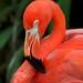Flamingo Vermelho - Foto: Rê Sarmento