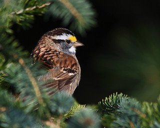 White-throated Sparrow in a Spruce Tree