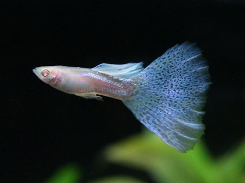 Guppy Diamante Albino