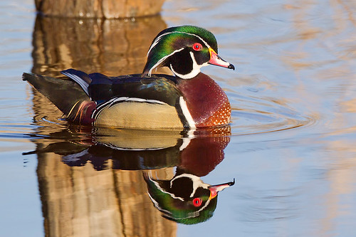 Wood Duck Drake by Jeff Dyck