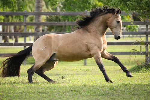 Casino Lusitano Stallion