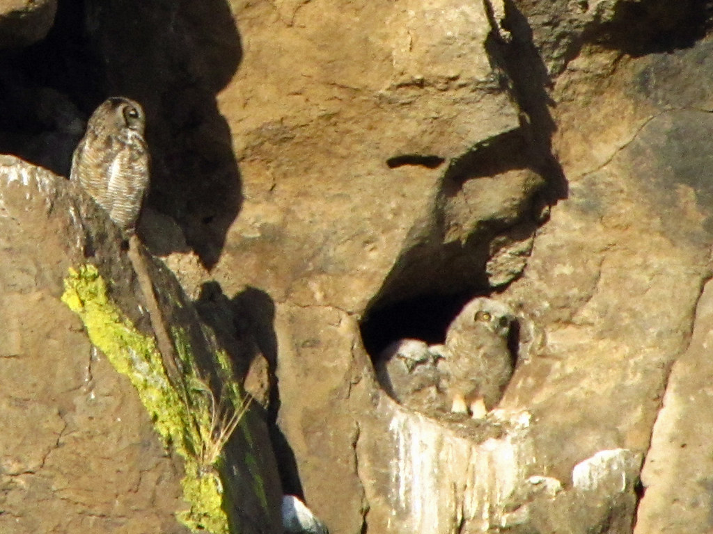 Great Horned Owlets 3/3