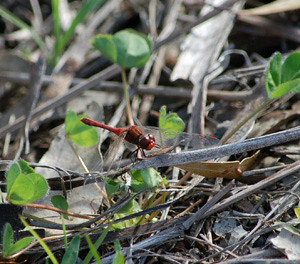 Dragonfly Wandering Percher