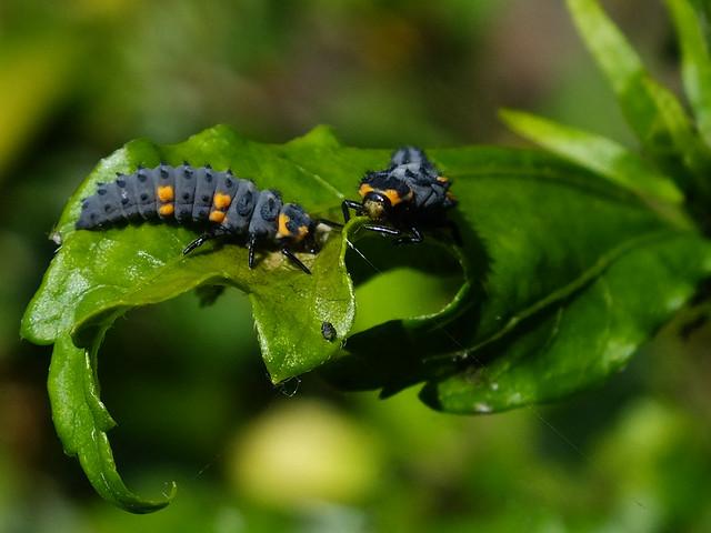 Ladybug Larvae | Flickr - Photo Sharing!