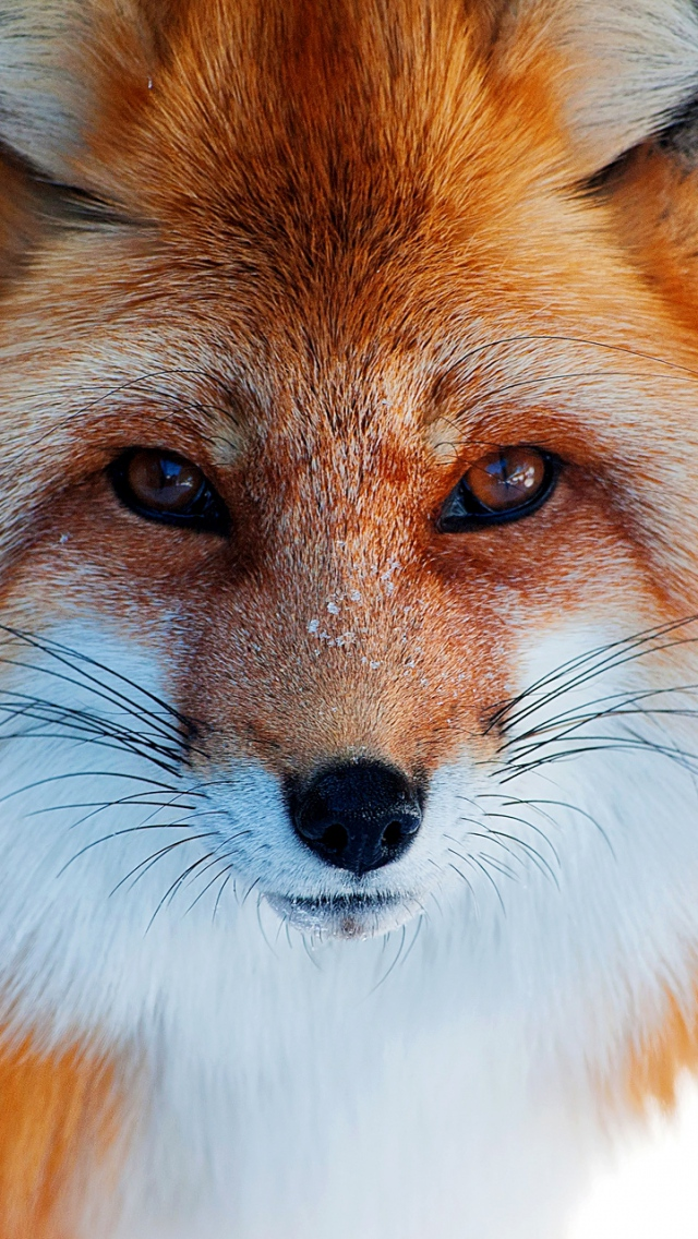 fox_fur_furry_muzzle_eyes_56549_640x1136