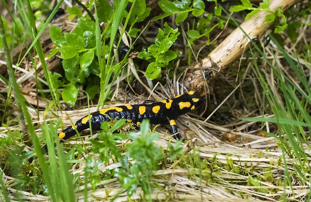 Fire Salamander Austria-Niederau (212)