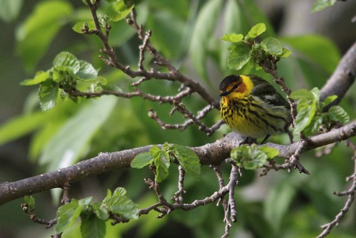 Cape May Warbler | by Birding In New Jersey