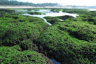 北海岸麟山鼻藻礁的生物多樣性構築獨特景觀。(攝影:廖運志)