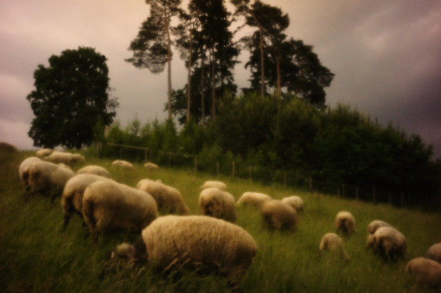 Allgäuschafe vor der Lochkamera - pinhole sheeps facing the pinhole camera