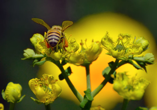 Honey Bee on Rue Flowers - D2X-6-25-11_7648