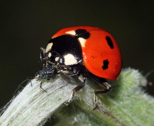 7 Spot Ladybird Face 8074