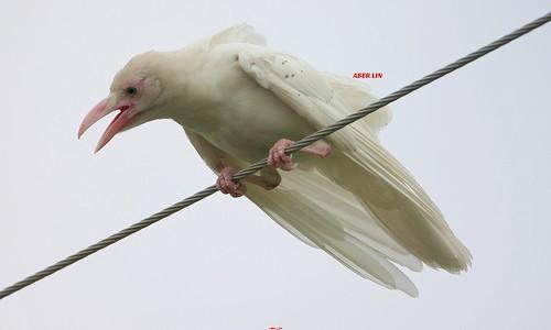 White Crow 白烏鴉(TW019) 6Z2K4674-1