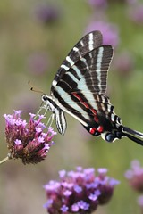 Zebra Swallowtail on Verbena bonariensis