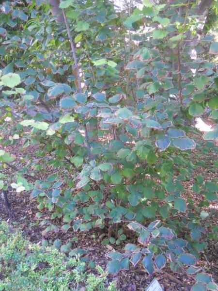 Corylus avellana v 2