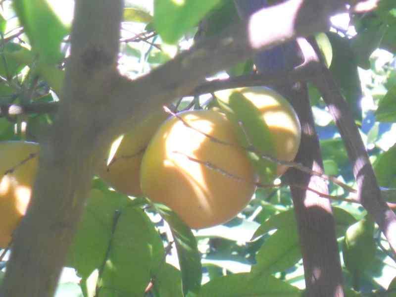 Citrus x paradisi 'Star Ruby' 4