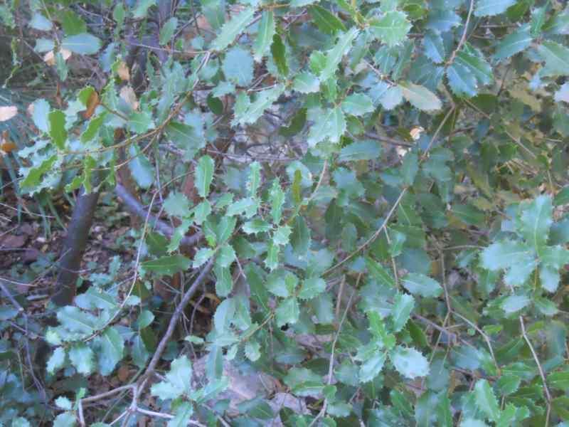 Quercus coccifera 4
