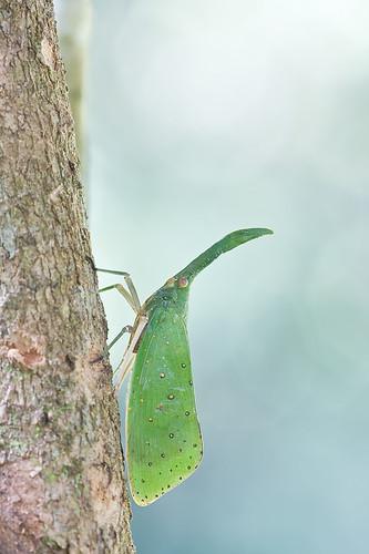 <i>Pyrops shiinaorum shiinaorum </i>IMG_6777 copy malaysia lantern bug