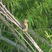 Cassin's Sparrow, Peucaea cassinii