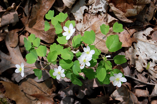 Picture of Rue Anemone, Thalictrum thalictroides, later in the spring season.