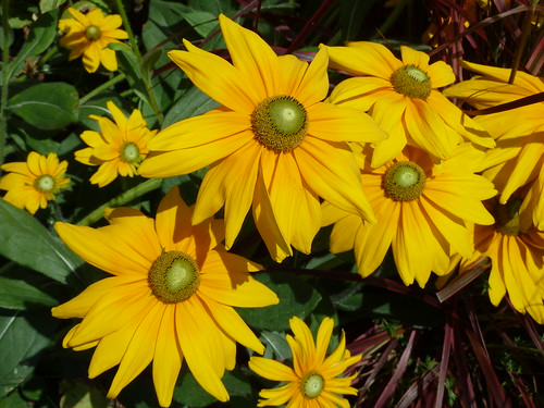 Chicago Botanic Garden, Yellow Daisies by lalobamfw