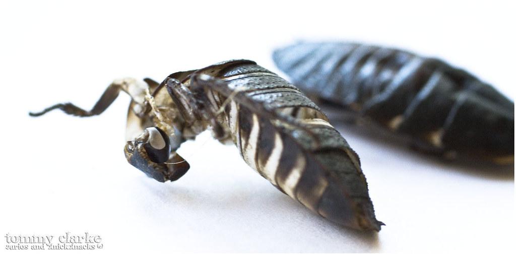 cockroach (exoskeleton side)