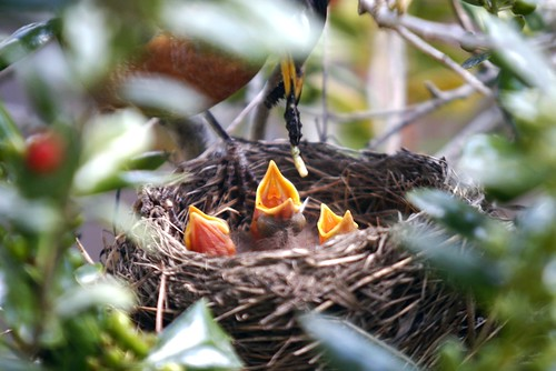 baby robin birds are hungry, baby birds, birds, hatching, robin birds, chicks, robin chicks, nest, parent, feeding, beak, hungry, worms, worm, robins nest, tree, nature, fecal sac, poop sac, neck, bald